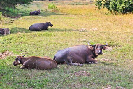 2 buffalos photo