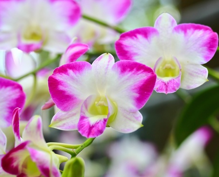 beautiful  orchid Stock Photo - 13504912