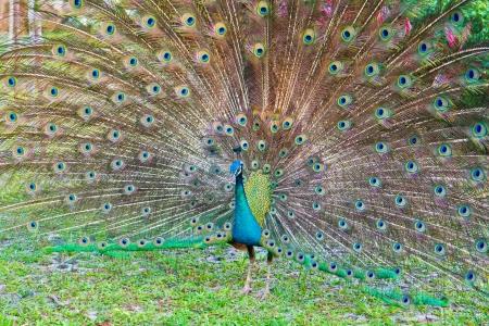 common peafowl: peacock Stock Photo