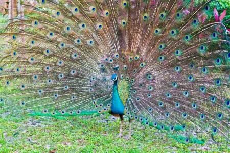 pavo: peacock Stock Photo