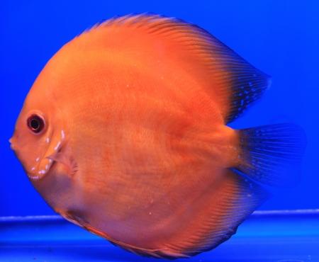 Fish in the aquarium glass Stock Photo - 13694066