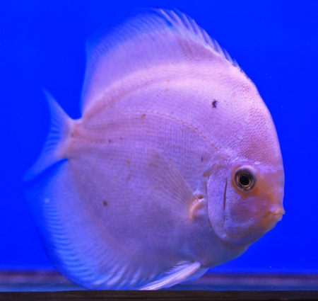 Fish in the aquarium glass Stock Photo - 13694065