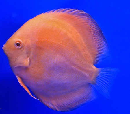 Fish in the aquarium glass Stock Photo - 13694052