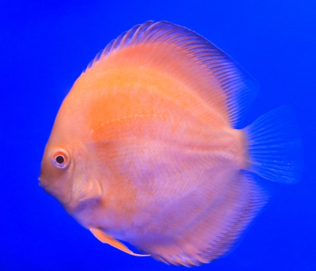 Fish in the aquarium glass Stock Photo - 13694064