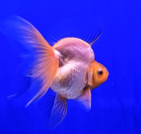 oranda: Fish in the aquarium glass Stock Photo