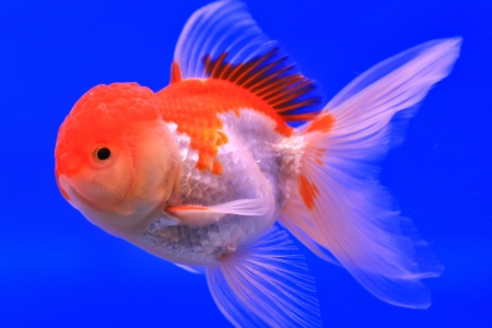 Fish in the aquarium glass Stock Photo - 13695651