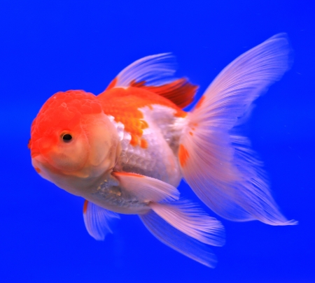 Fish in the aquarium glass Stock Photo - 13695700
