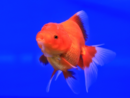 Fish in the aquarium glass Stock Photo - 13695520