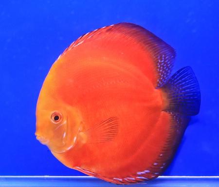 Fish in the aquarium glass Stock Photo - 13695522