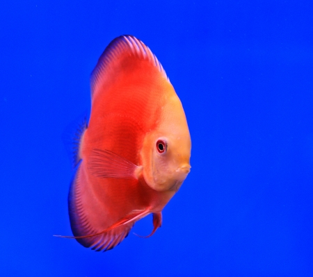 Fish in the aquarium glass Stock Photo - 13695728