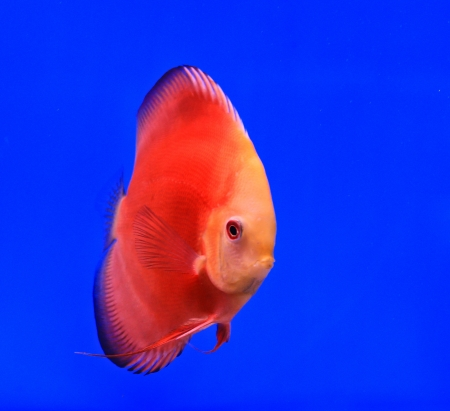 Fish in the aquarium glass Stock Photo - 13695733