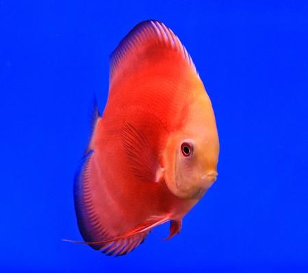 Fish in the aquarium glass Stock Photo - 13695608