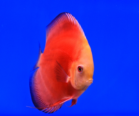 Fish in the aquarium glass Stock Photo - 13695666