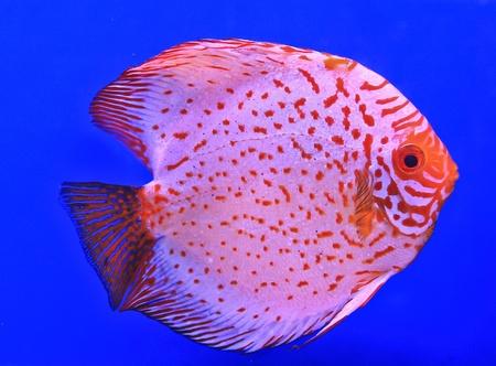 Fish in the aquarium glass Stock Photo - 13695685