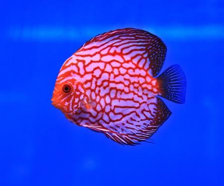 Fish in the aquarium glass Stock Photo - 13695600