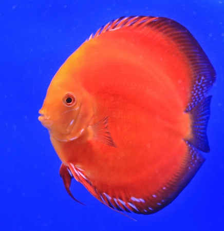 Fish in the aquarium glass photo