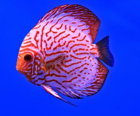 Fish in the aquarium glass Stock Photo - 13695745