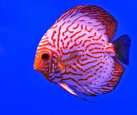 Fish in the aquarium glass Stock Photo - 13695769