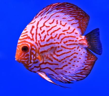 discus fish: Fish in the aquarium glass Stock Photo