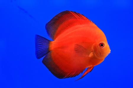 Fish in the aquarium glass Stock Photo - 13695907