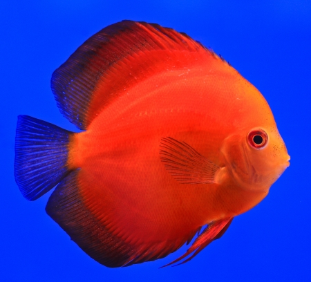 Fish in the aquarium glass Stock Photo - 13695795