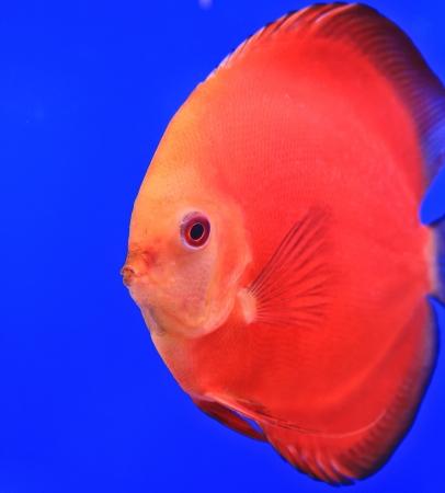Fish in the aquarium glass Stock Photo - 13695743