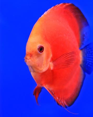 Fish in the aquarium glass Stock Photo - 13695785