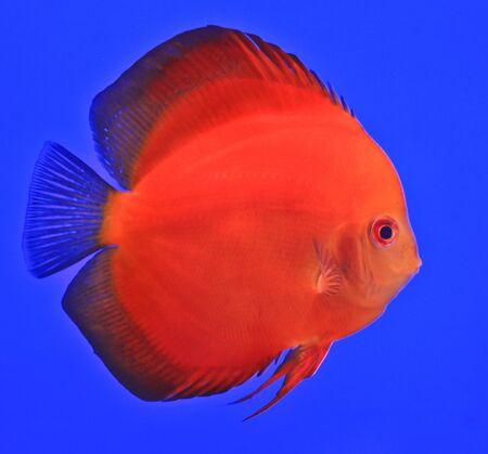 Fish in the aquarium glass Stock Photo - 13695173