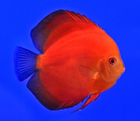 Fish in the aquarium glass Stock Photo - 13695684