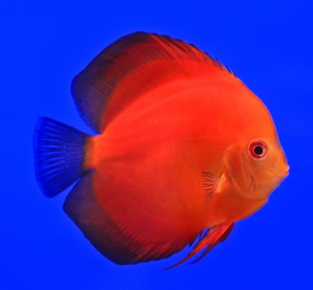 Fish in the aquarium glass Stock Photo - 13695616