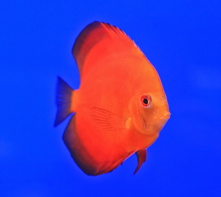 Fish in the aquarium glass Stock Photo - 13695664