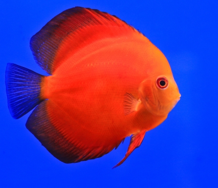Fish in the aquarium glass Stock Photo - 13695597