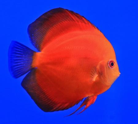 Fish in the aquarium glass Stock Photo - 13695524