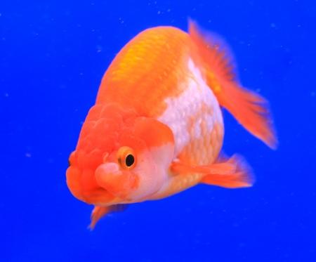 ranchu: Fish in the aquarium glass Stock Photo