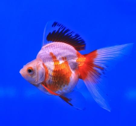 Fish in the aquarium glass Stock Photo - 13695465