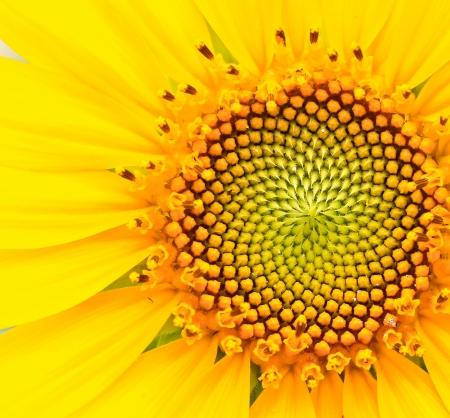zonnebloem: gele zonnebloem Stockfoto