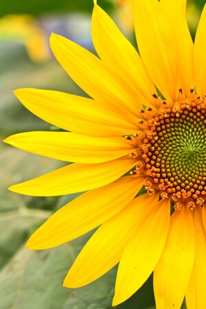 yellow sunflower Stock Photo - 13947918