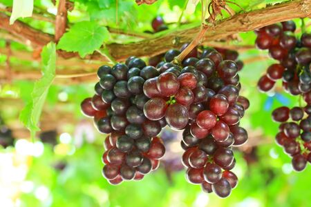 wine grower: garden Grapes red Stock Photo