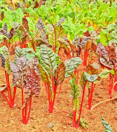 seed bed: Vegetable garden