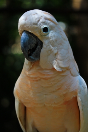 Closeup Macaw  photo