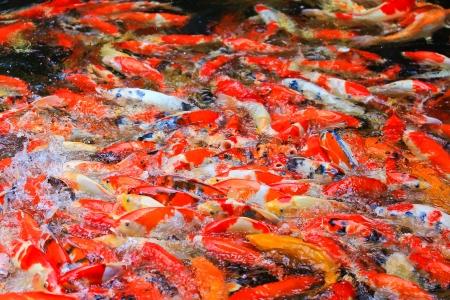 Colorful Koi or carp photo