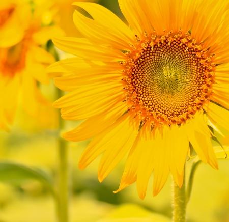 stamen wasp: beautiful sunflowers