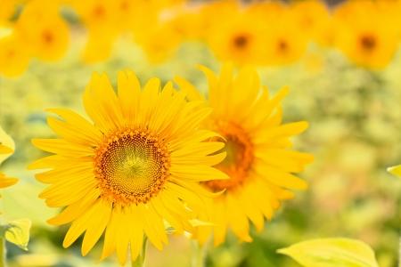 beautiful sunflowers Stock Photo - 14396363