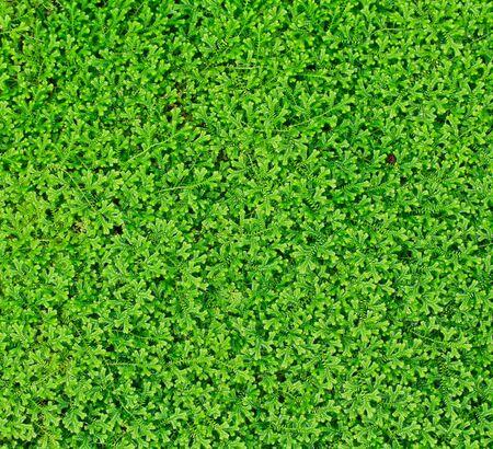 einrollen: Green Leaf Hintergrund,