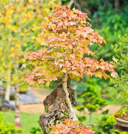 bonsai tree photo