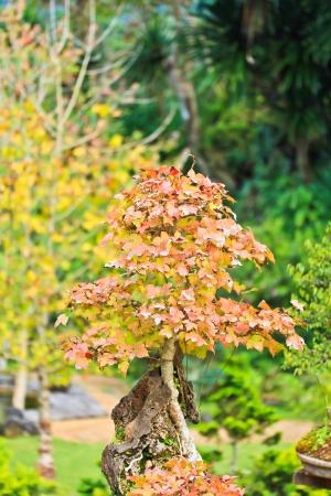 centenarian: �rbol de los bonsai Foto de archivo
