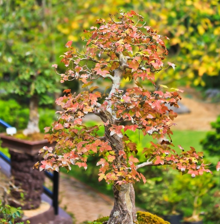 bonsai tree photo