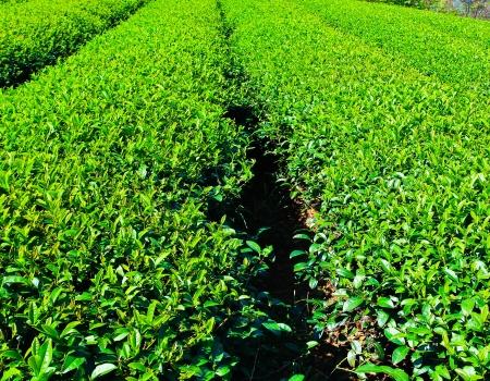 Tea Plantation Stock Photo - 14439349