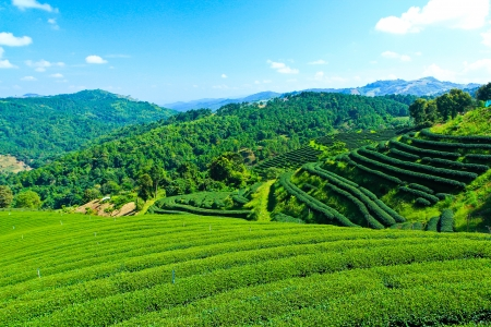 clouds: garden: Tea Plantation Stock Photo