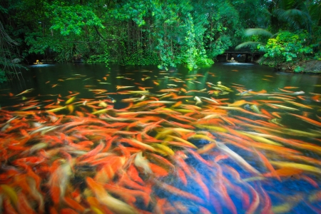 koi fish pond: Colorful Koi or carp Stock Photo